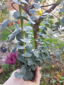 Eucalyptus du jardin pour savon saf à l'eucalyptus