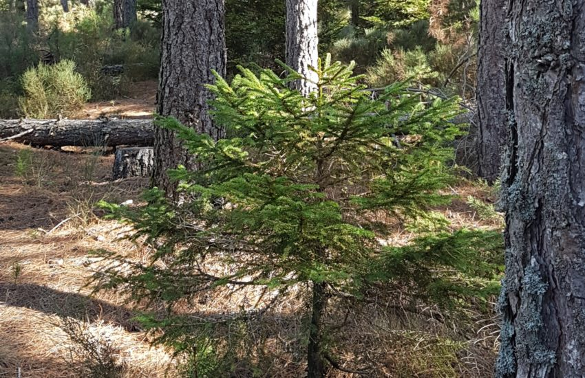 Sapin naturel en foret